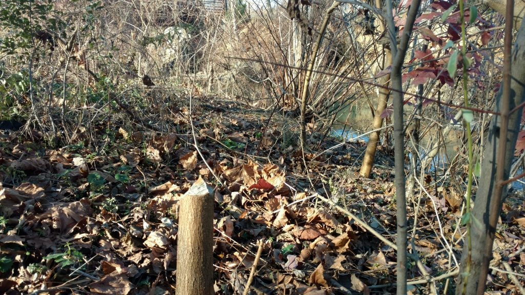 Lots of underbrush greenery and dead leaves on the ground. To the right is Watts Branch Stream but the photo is focused on the beaver cut sharp stump in the middle of the photo.