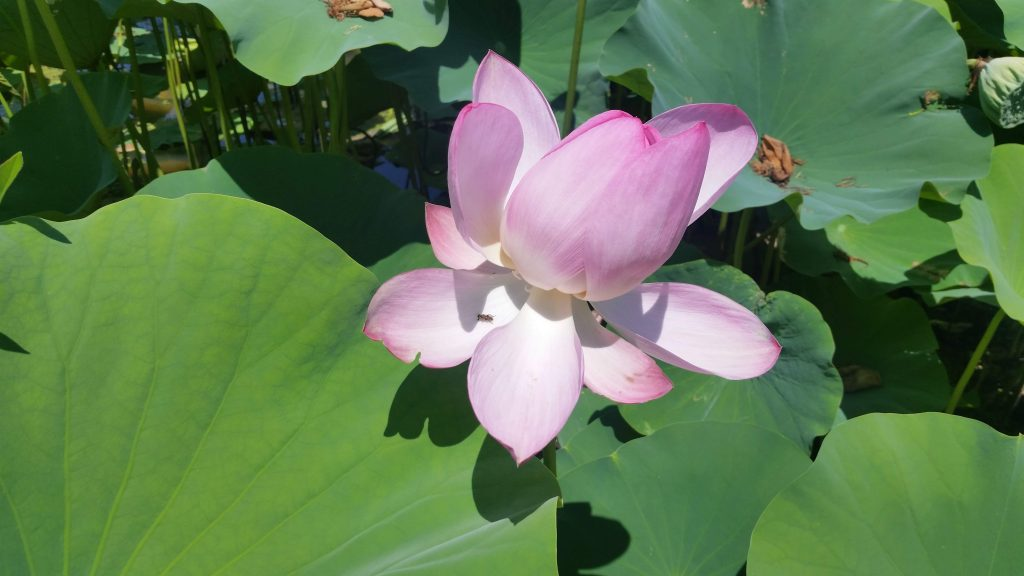 20180714 134547 1024x576 - Kenilworth Aquatic Gardens Lotus Festival 2019